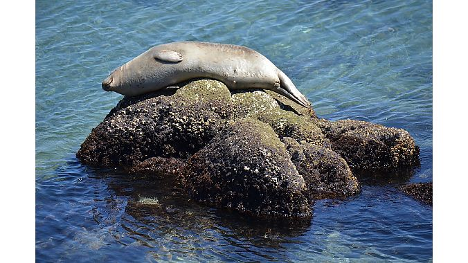 Sea otter sighting? Nope, that's a harbor seal—and a well-fed one—sunning itself in Monterey Bay.